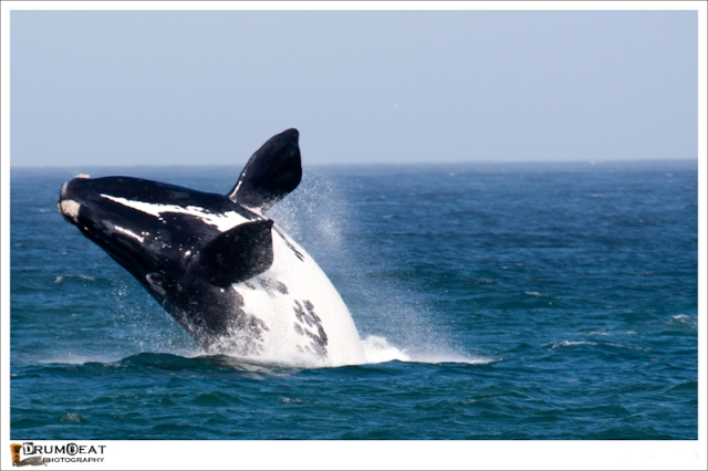 hermanus-whale-watching-tours