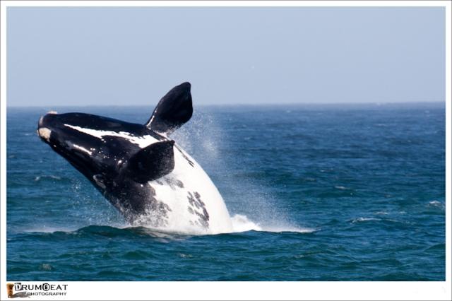 hermanus-whale-watching-tours